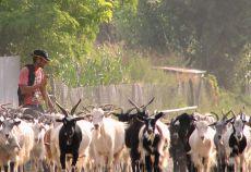 Actul normativ reglementează sectorul de creștere a ovinelor și caprinelor de lapte și carne din zonele defavorizate, astfel: •se definesc categoriile de animale pentru care se poate solicita ajutor specific
