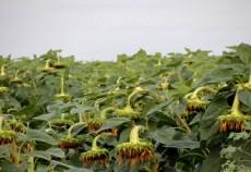 floarea soarelui de vanzare