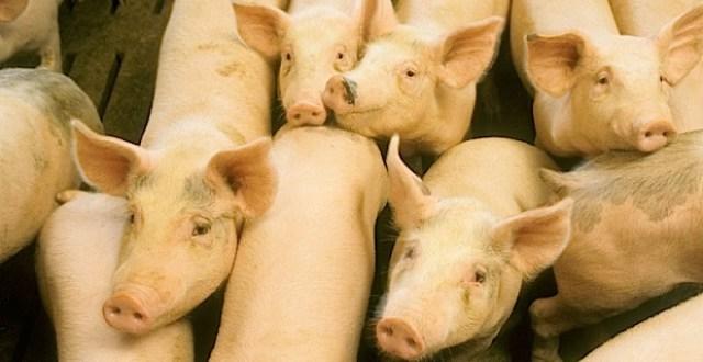 gripa-porcina