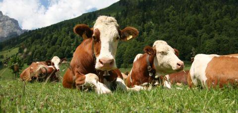 subventie bovine