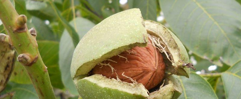 plantatie de nuci