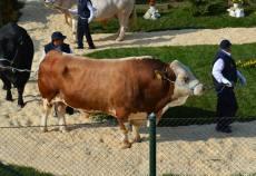parada taurilor