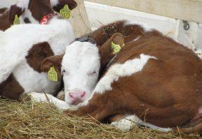 bovine de carne