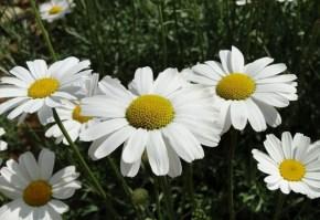 crizantema dalmata