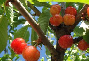 soiuri de cires