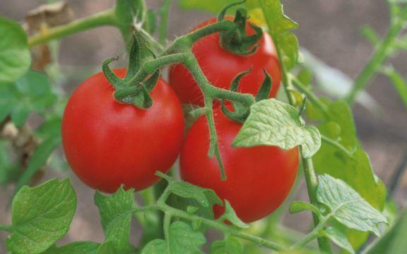 legumicultura tomate subventii