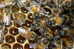 familii-albine