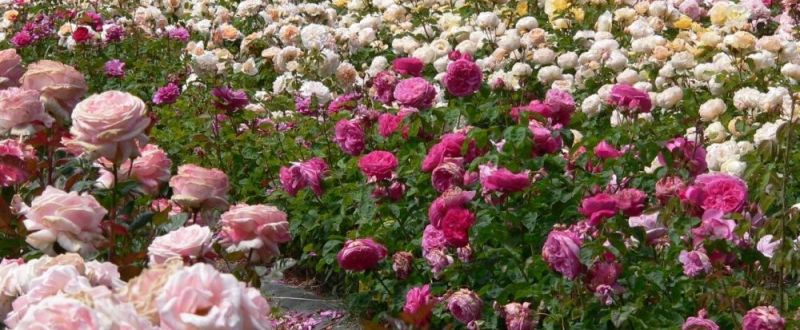 plantatie de trandafiri pndr