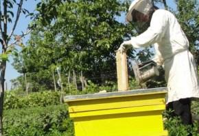 apicultura, miere