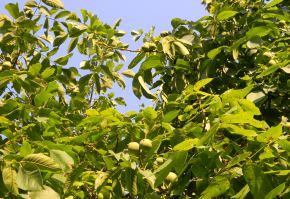 plantatie-nuci