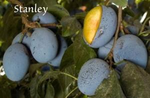 prune stanley