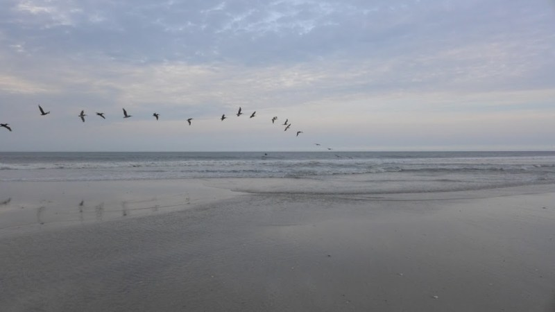 Pelicans, Oregon Inlet Beach, NC