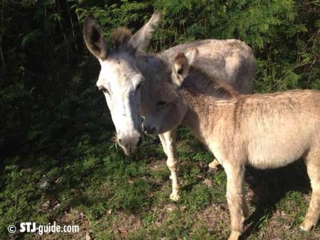 donkeys-stjohn-usvi