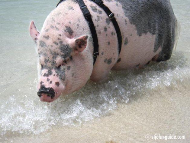 ziggy-pig-stjohn