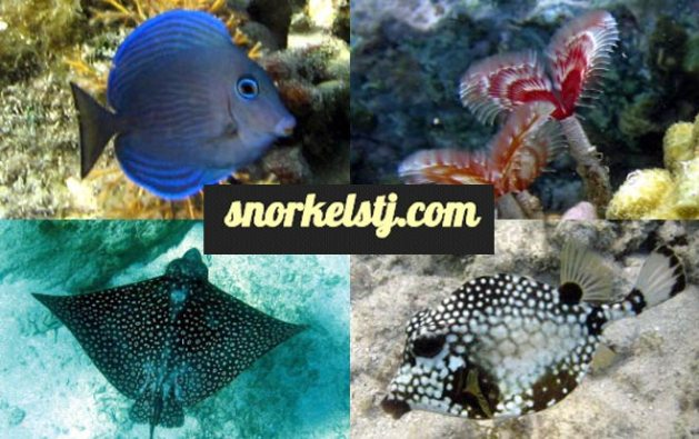 Fish Identifiction Snorkeling St. John