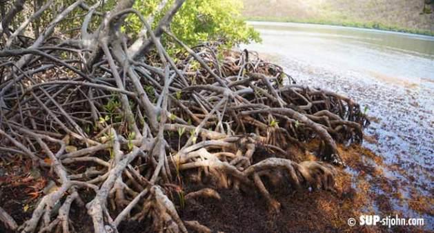 hurricane-hole-mangrove-snorkel