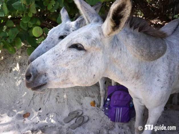 donkey-on-stjohn-usvi-660