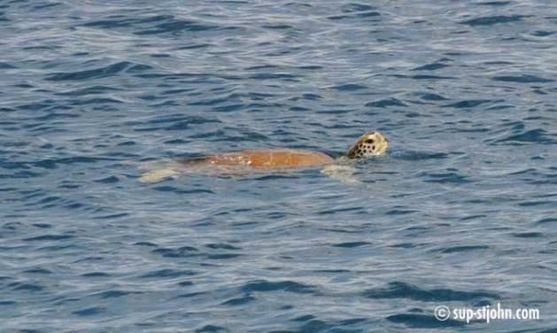 sea-turtle-stjohn-usvi