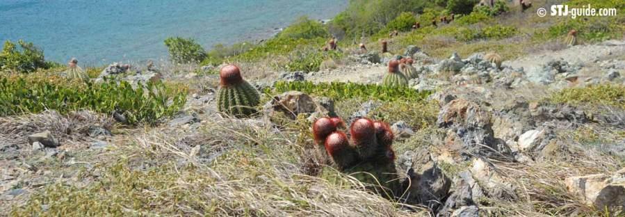 turks-head-cactus-stjohn