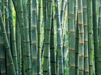 Photo of bamboo (from an original image by David Clode on Unsplash)