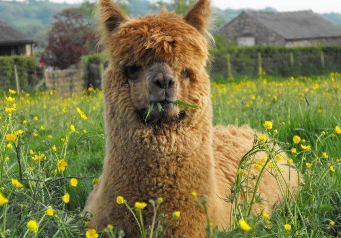 Bowland Alpacas_0