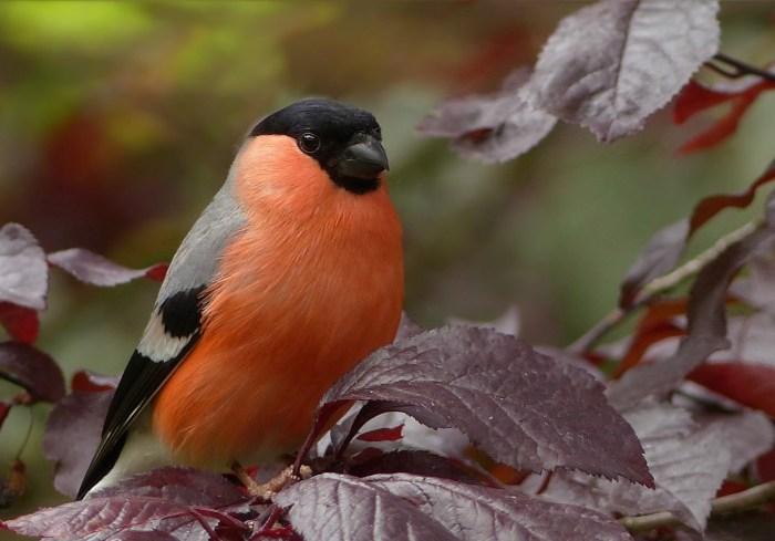 bullfinch-818188_1280