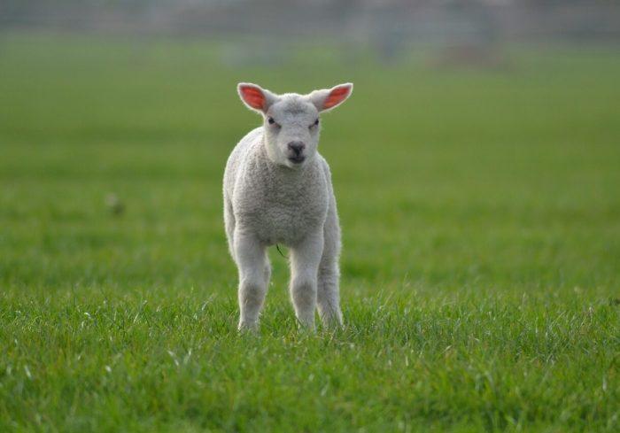 lamb-1200539_1280