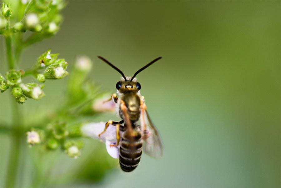 goldwespe-cuckoo wasp-austria-österreich-2015