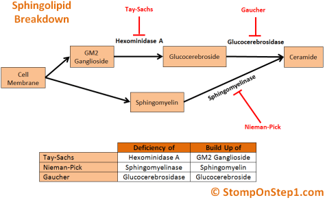 Tay Sachs Disease, Gaucher Nieman-Pick Sphingolipidosis