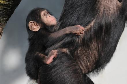 Scimpanzés. Foto: böhringer friedrich / Wikimedia Commons