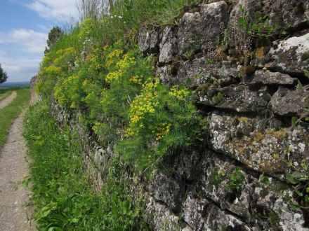 Weinbergsmauern blühen sogar, wenn sie verwildern. Foto: Bonnlander / Wikimedia Commons