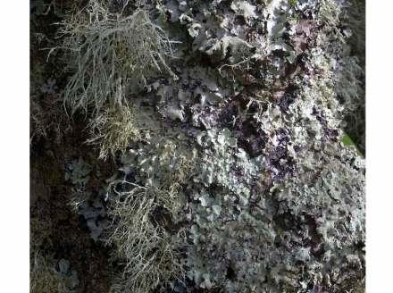 Lichens-covered tree. Photo: MichaelMaggs / Wikimedia Commons
