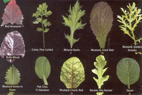 Winter Leaf And Salad Identification