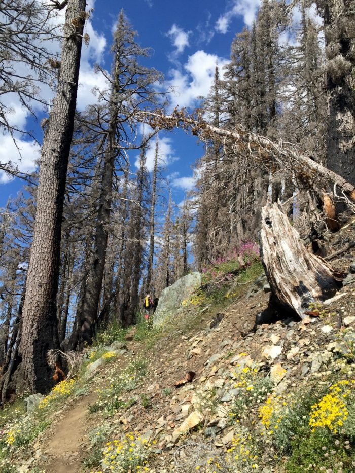 Wildflowers and blue sky as the PCT crosses through a stand of dead tress