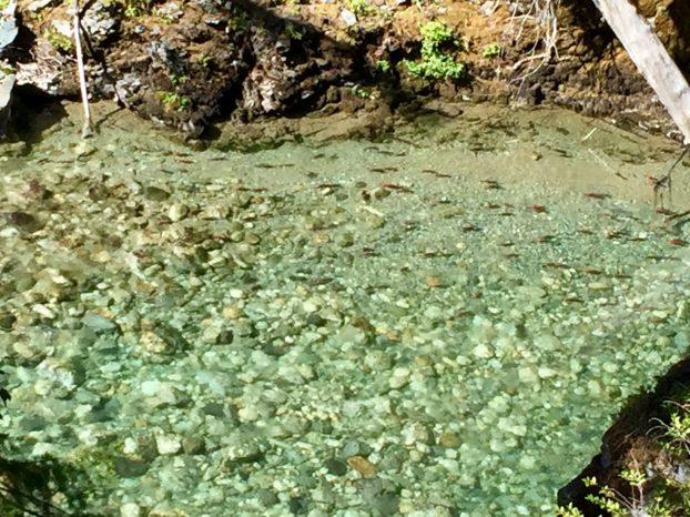 Landlocked Kokanee salmon swimming in the Stehekin River
