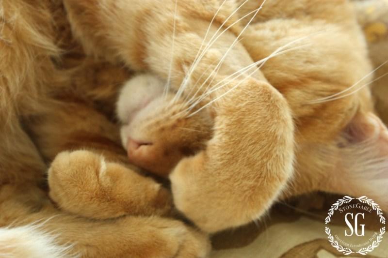 HOBBES-THE STONEGABLE CAT-nap time again-stonegableblog.com