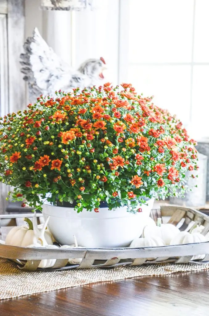 Caring For Fall Mums Indoors Stonegable