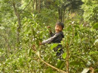 Yunnan Ancient Arbor Puer Cha