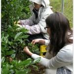 Japan 2012 Travels TeaHarvestLesson