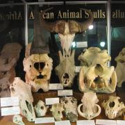 African Animal Skulls 035