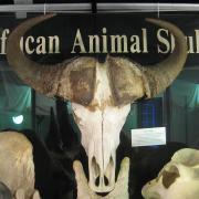African Animal Skulls 038