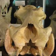 African Animal Skulls 039