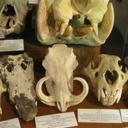 African Animal Skulls 041