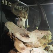African Animal Skulls 043