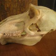 African Animal Skulls 048