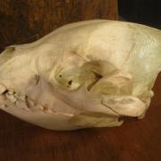 African Animal Skulls 049