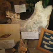 Fossil Display 009