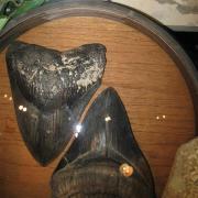 Fossil Display 022