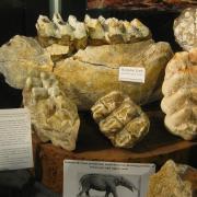 Texas Elephants 063