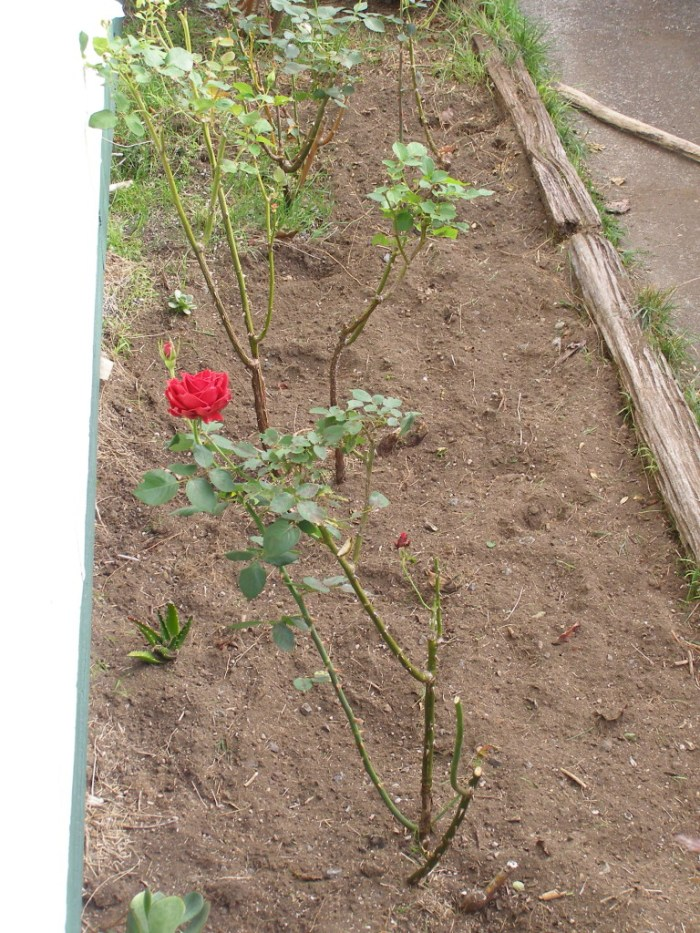 Rose bed to be garlic bed